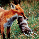 Autumn Fox baiting with Feral Fighters