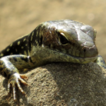 Reptiles in our Region