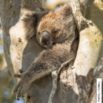 Koalas and Climate Talk