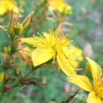 St John's Wort in Flower Now