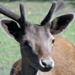 Preliminary Results of Wild Deer Survey